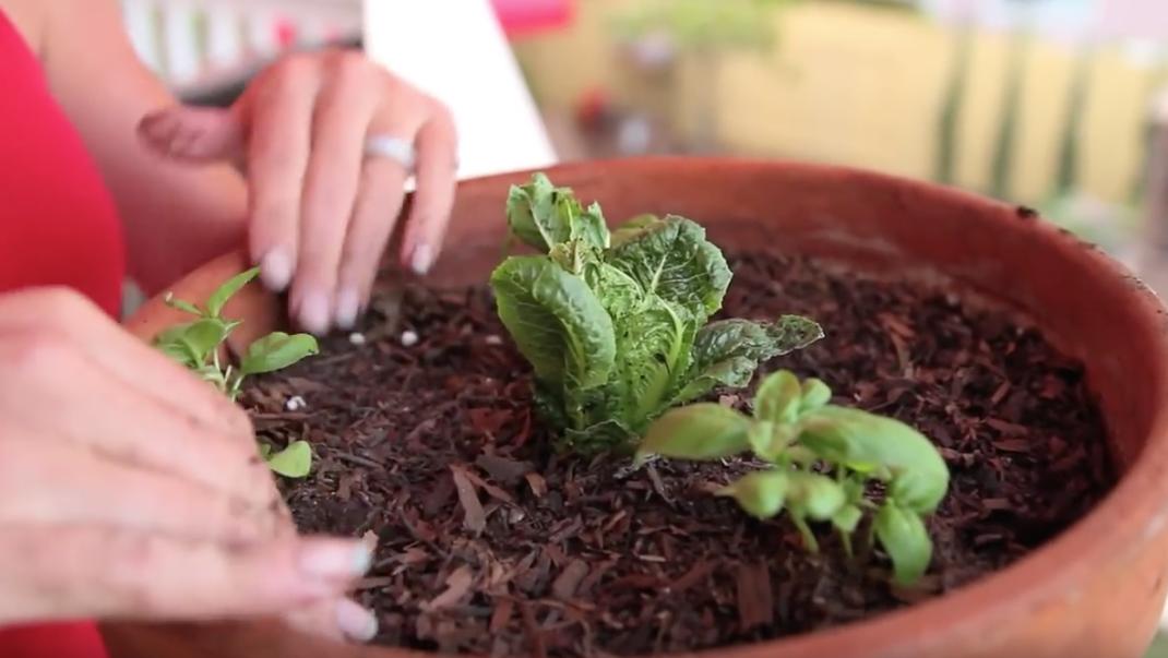 Tips on Regrowing Lettuce