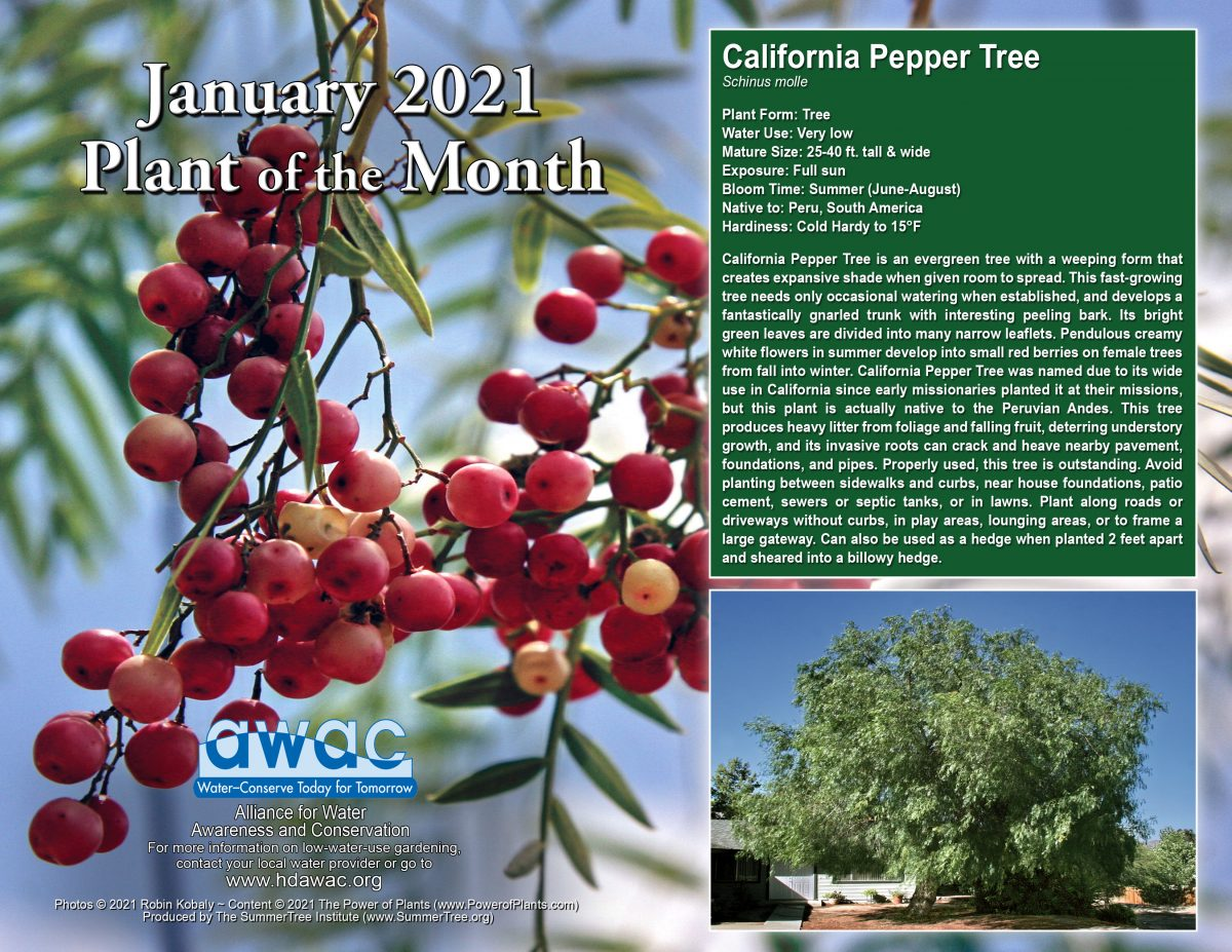 AWAC Jan21 Plant of the Month